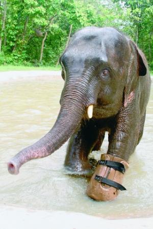 Chhouk the baby elephant