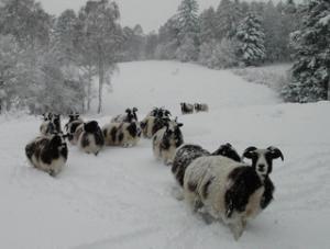 these jacob sheep at warburg