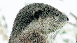Otters make return to cleaner waters