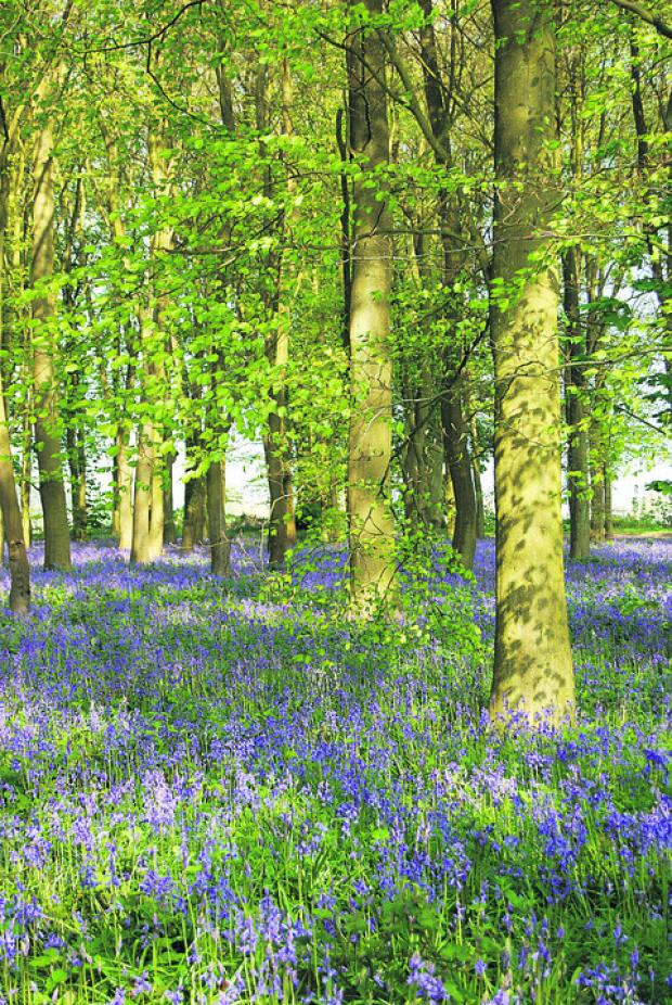 TRANQUIL: Trish Wickstead's Bluebells and Shadows
