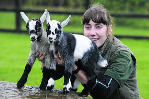 Help wildlife park name their pygmy goats