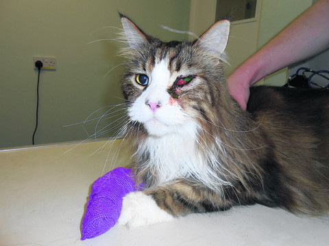 Cat loses an eye after being shot with pellet gun
