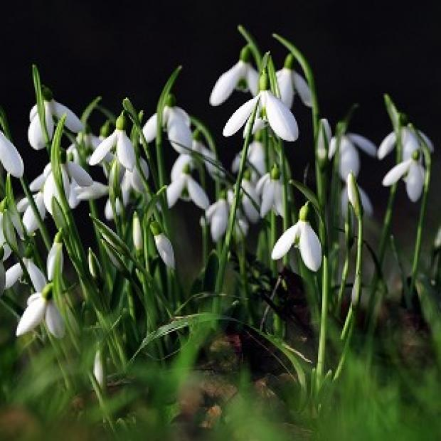 Snowdrops are among the first signs of spring that could be hit by a new cold snap