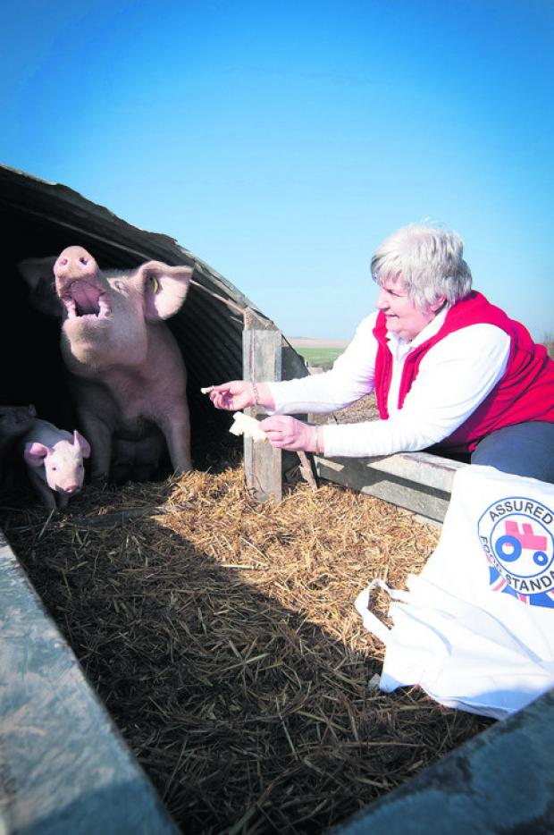 Jane Drewe with a sow and her piglet taking the air at Coscote Farm