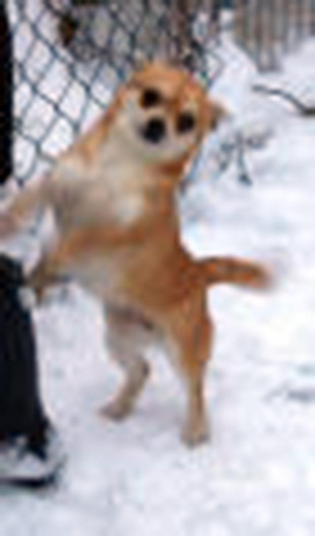 Lily the Chihuahua, apologies for quality of image but the supplied one from police was tiny