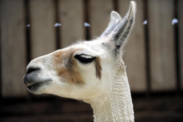 Delays on the B471 because llamas and alpacas have escaped - yes really