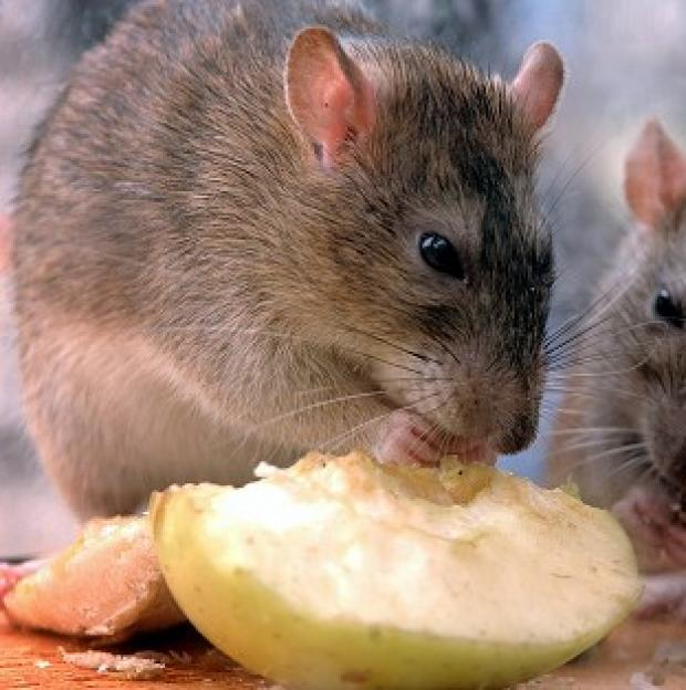 The Oxford Times: Rats could grow to be bigger than sheep as they evolve to fill vacant ecological niches, a geologist has claimed