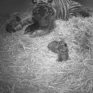 The Oxford Times: Triplet Sumatran tiger cubs were born at the zoo (Zoological Society of London/PA)