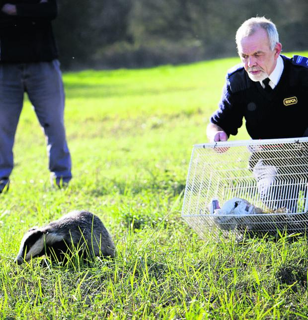 The Oxford Times: RSPCA officer Dennis Lovell releases the badger in meadows near Botley Road