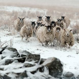 The Oxford Times: Sheep walk through snow at Nenthead on the Cumbria and Northumberland border