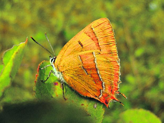 The Oxford Times: A Brown Hairstreak