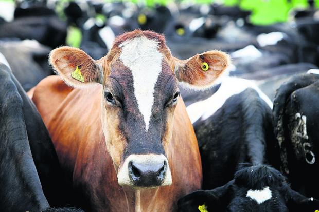 The Oxford Times: The lone brown cow at Step Farm in Faringdon