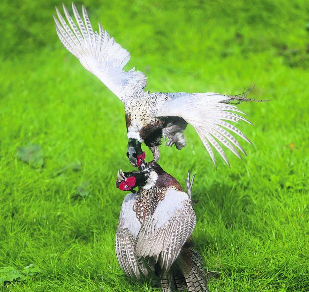 The Oxford Times: Pheasants fight
