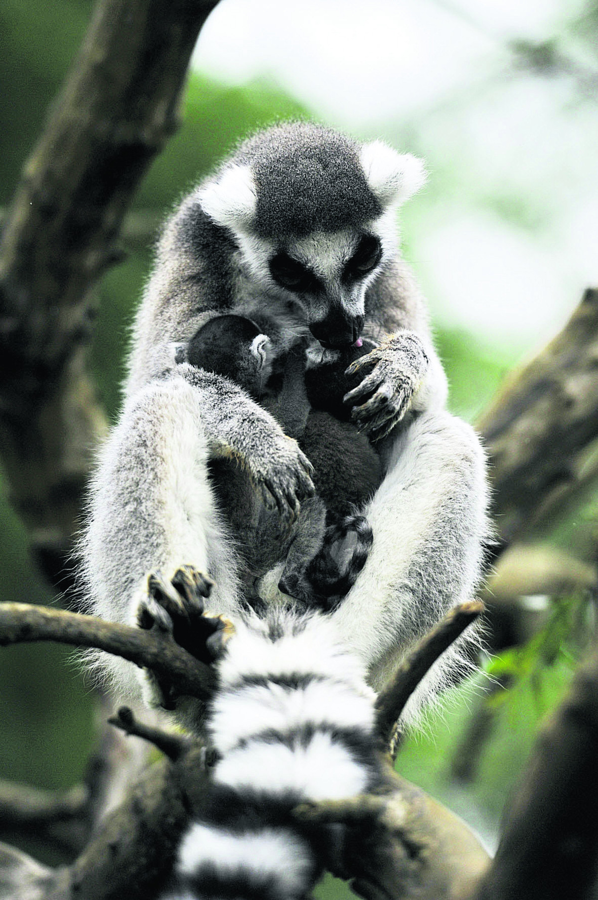 Ma the lemur with her babies at