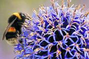 Busy: Buff-tailed bumblebee