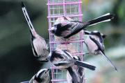 Acrobatic: Long-tailed tits on a fat-ball feeder