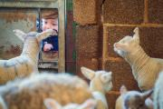 A young child peers at curious lambs through a gate hole during a lambing weekend at the Earth Trust Centre in Little Wittenham.  Picture: Greg Blatchford