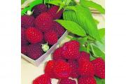 Delicious: Marastar raspberries are exceptionally hardy but taste wonderful