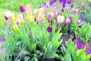 Variations of size and colour: Mixed pots of tulips