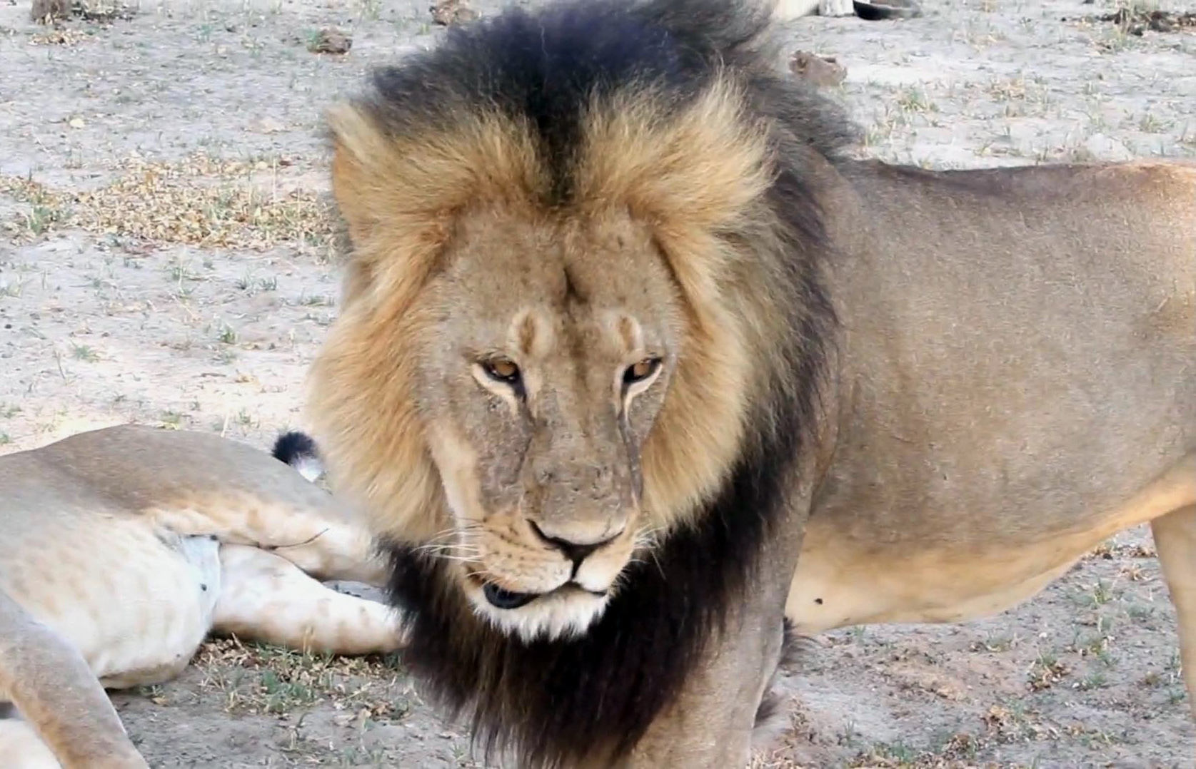 American dentist accused of killing Oxford Univeristy project lion Cecil