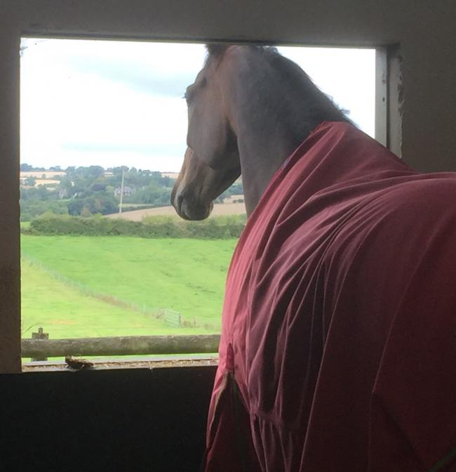 Midnight Shot looks out of his stable window at Charlie Longsdon's open day in Chipping Norton                                             Picture: Mark Edwards