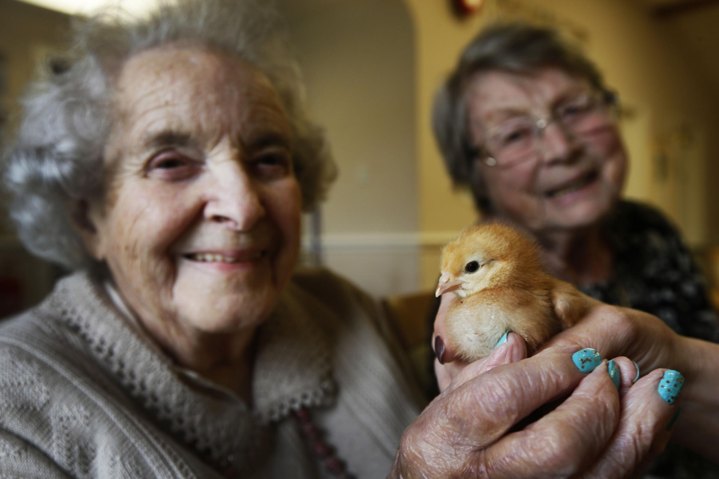 Residents of the Stirlings Care Home in Wantage with chicks that have now hatched from eggs they were given at Easter. Connie Hodges (who celebrated her 100th birthday recently) and June Willis.