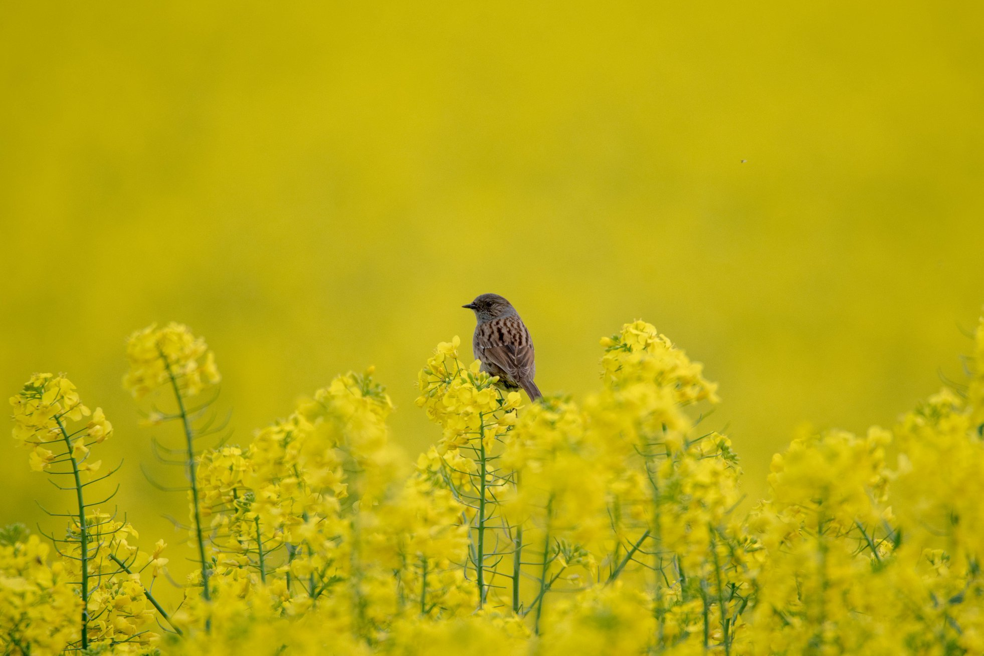 GOLDEN MOMENT: Bunting in a field of yellow rapeseed by Jeff Higgs