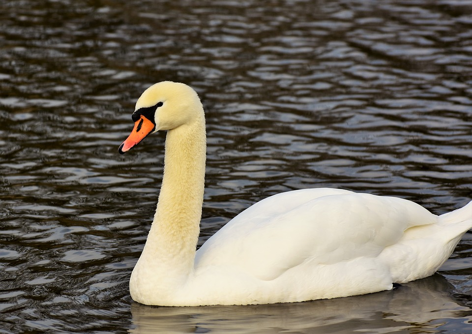 Swans stopped traffic on the A34. (Stock image)