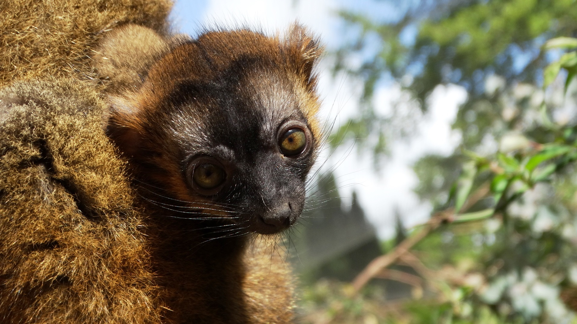 WELCOME: Lemur baby is the latest arrival to Cotswold Wildlife Park just days ahead of Lemur Week celebrations.