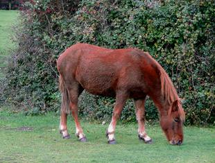 One of the New Forest;s famous ponies