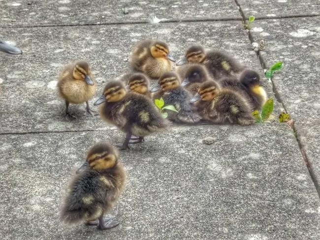 Ducklings are a yearly fixture at the Wallingford Community Hospital, says Oxford Mail Camera Club snapper Melanie Burns