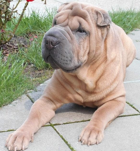A Shar Pei dog (stock image, dog pictured is not Flake)